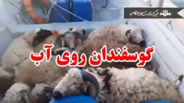 گوسفندانی که روی آب میروند