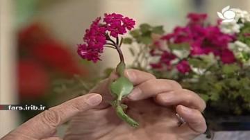شبدر و گل كالانكوئه